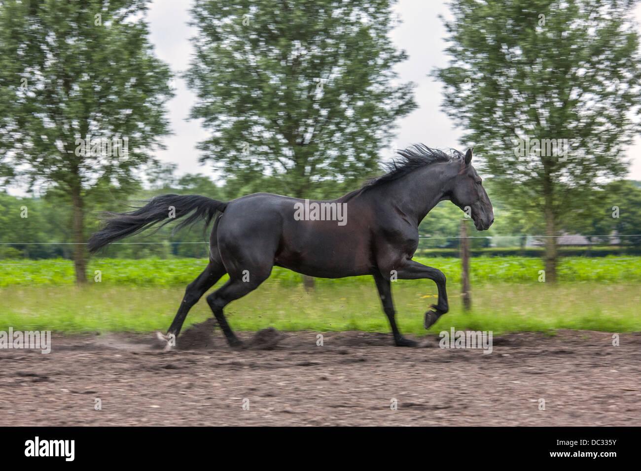 Brown al trote de caballos en el campo, el trote es un dos-beat andar con diagonal pares de patas Imagen De Stock