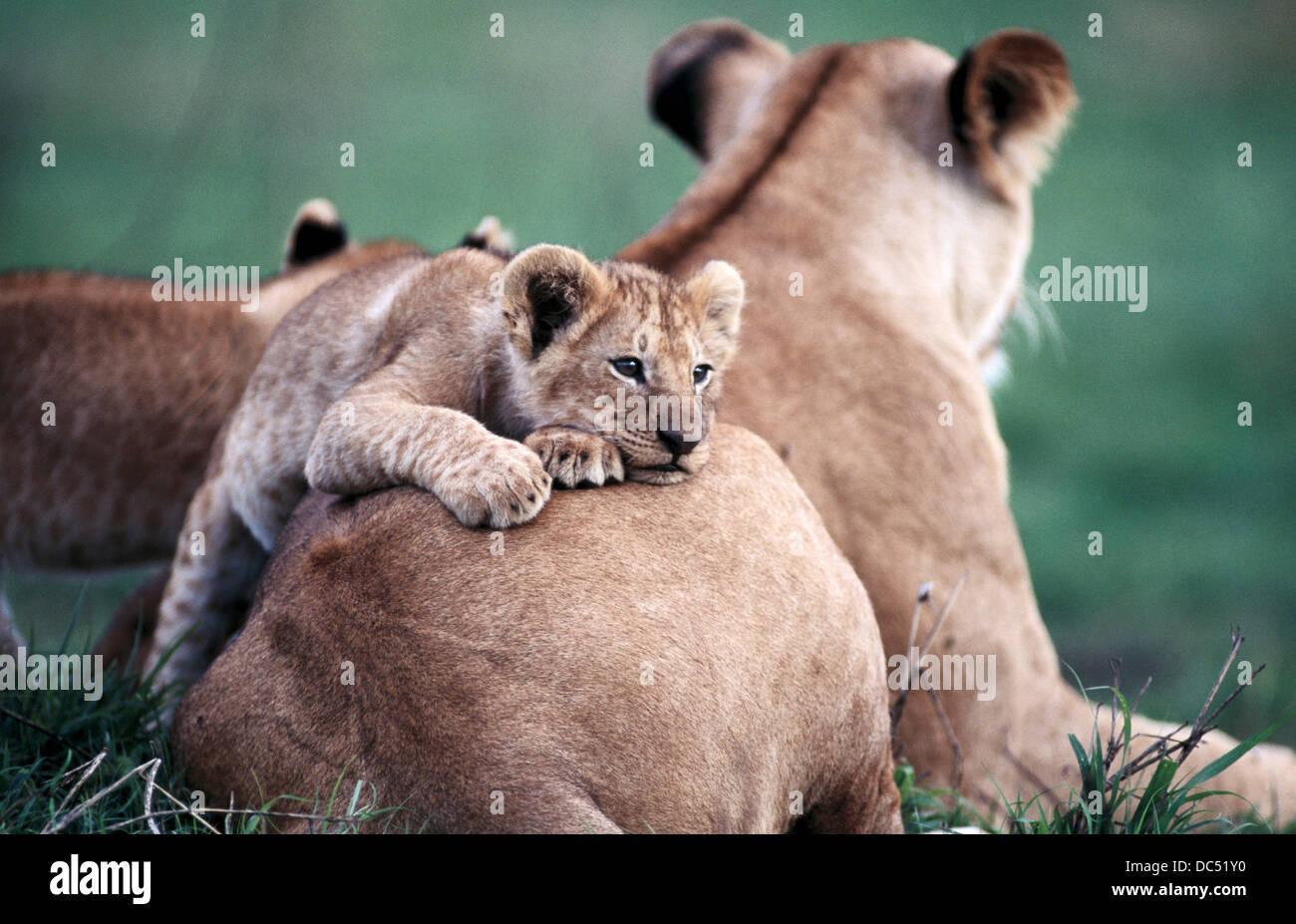 Los leones (Panthera leo). Masai Mara. Kenya Imagen De Stock