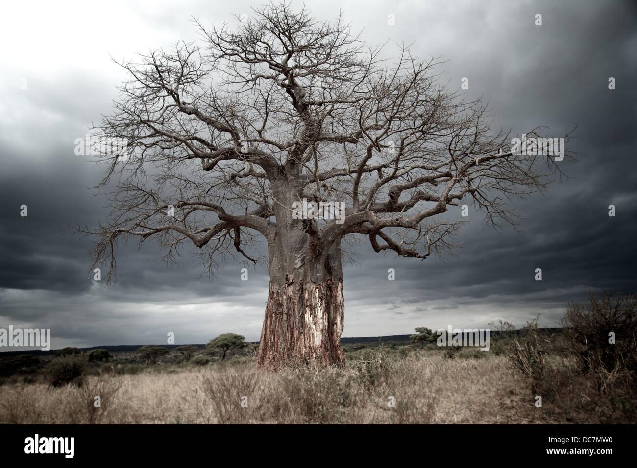 Baobab con extraído de la corteza del tronco inferior por los elefantes. Parque Nacional Tarangire. Tanzania Imagen De Stock