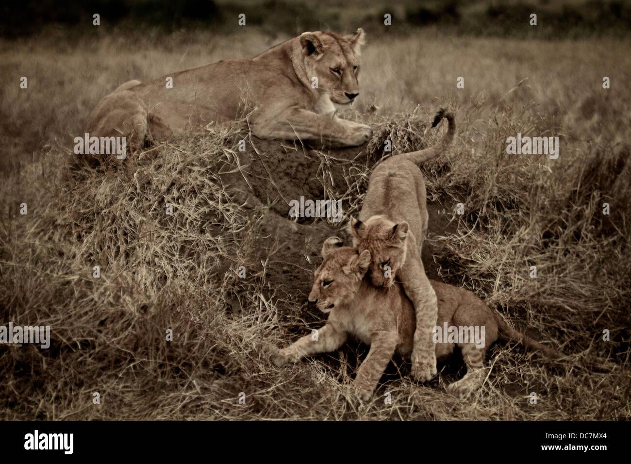 Hembra madre cuida a sus cachorros de león lucha . Serengeti . Tanzania, África. Imagen De Stock