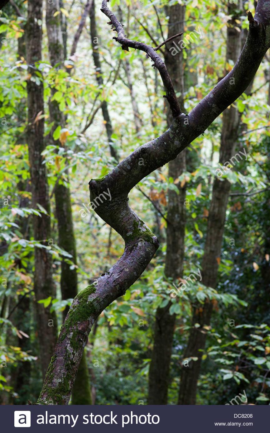 Crooked Tree trunk en woodland Imagen De Stock