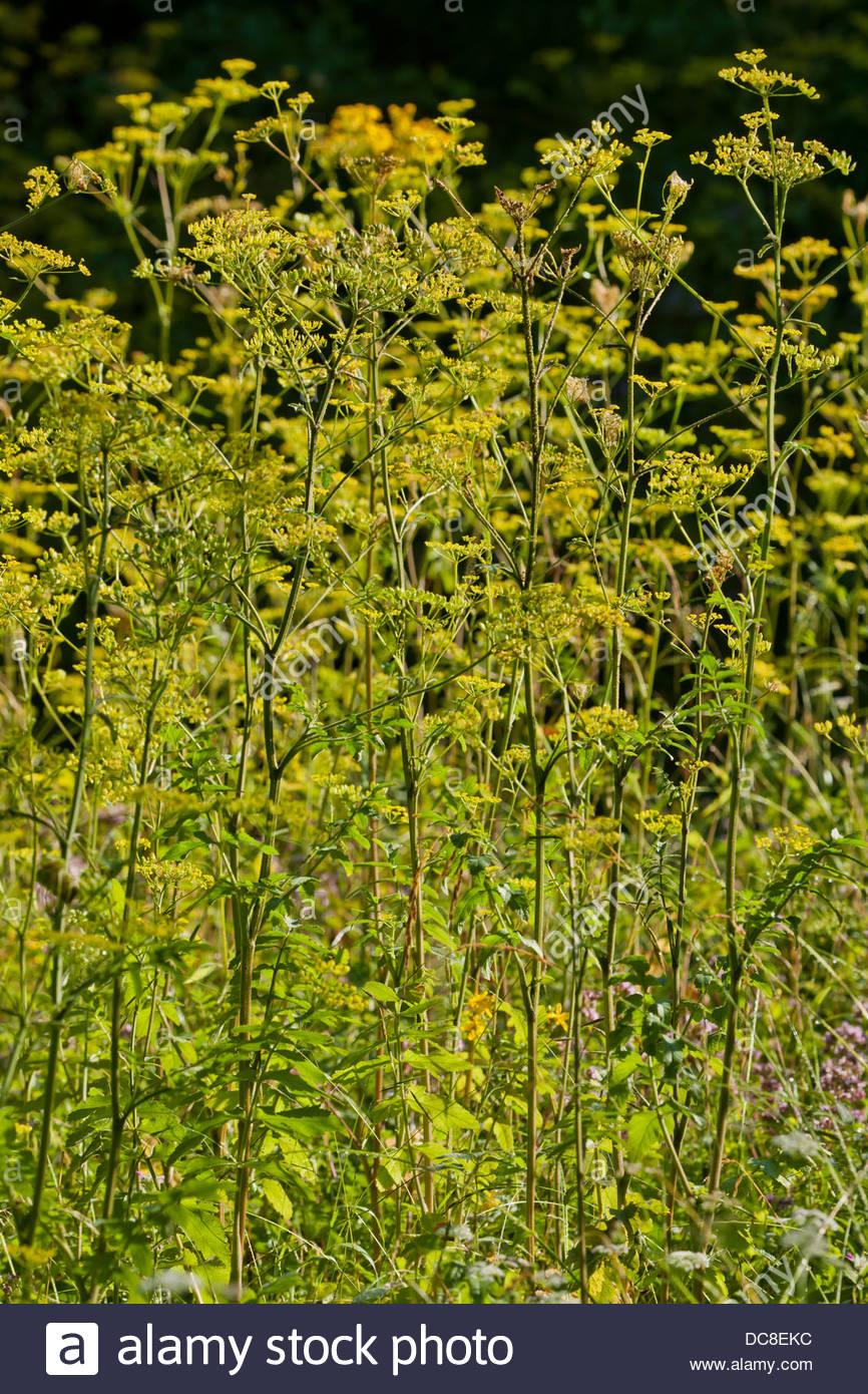 La alcachofa silvestre nativa Pastinaca sativa flores flores de verano bienal woodland edge meadow campo planta Imagen De Stock
