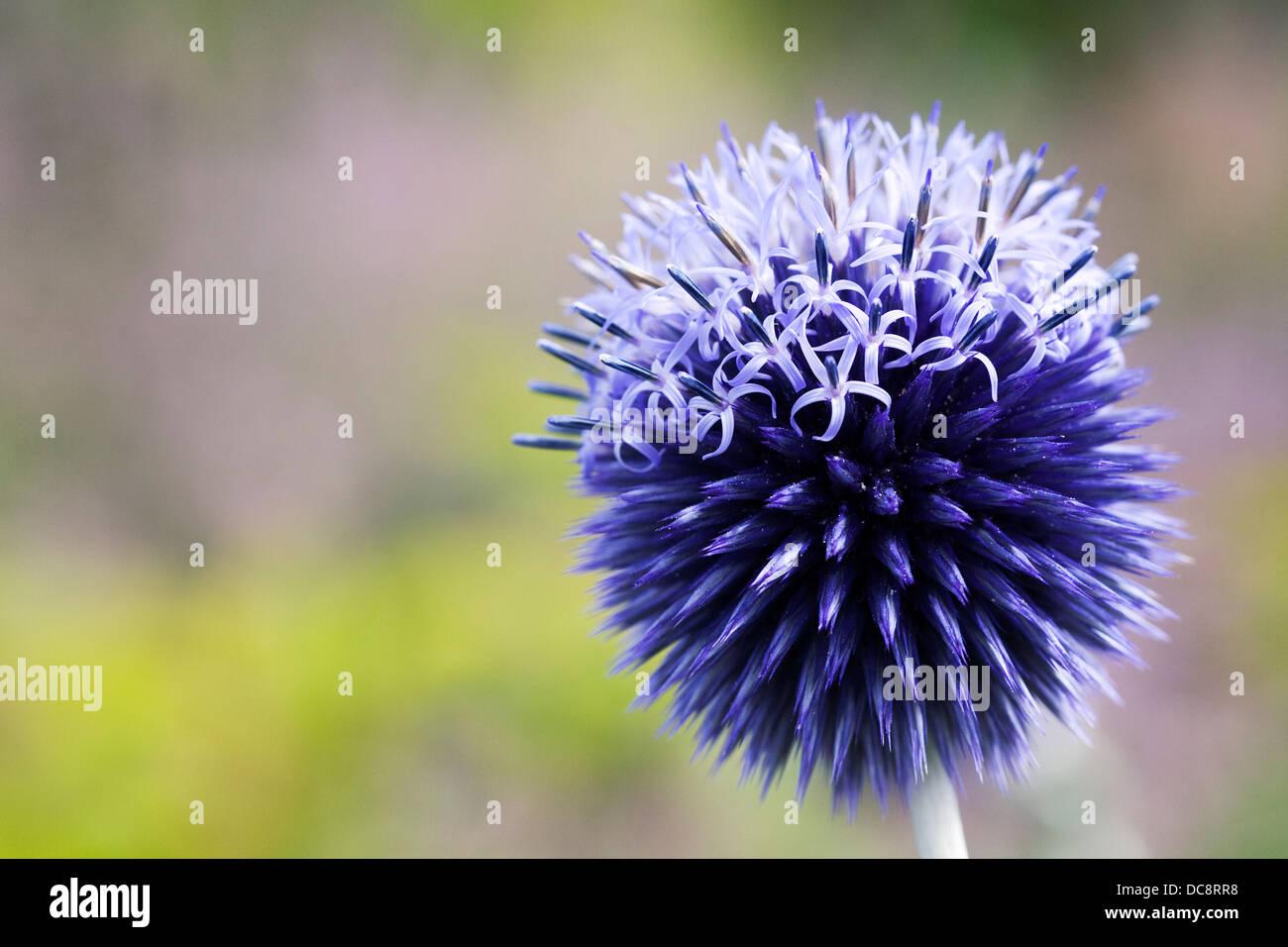 Echinops bannaticus Taplow 'Azul'. Cardo de Globe. Imagen De Stock