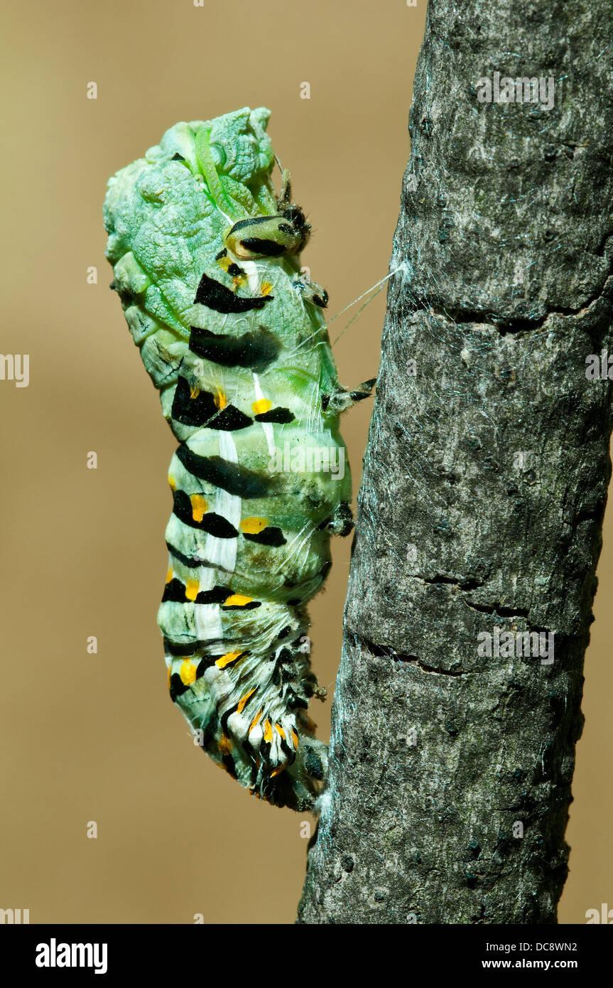 E Especie Papilio polyxenes mariposas pupa derramamiento es piel E EE.UU. Foto de stock