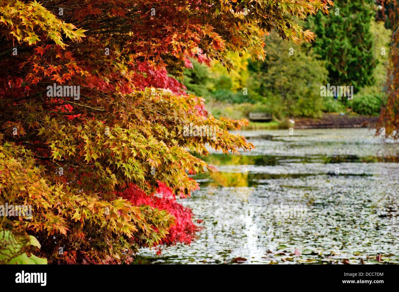 Hojas de otoño colorido y árboles por un estanque de jardín botánico VanDusen en Vancouver. Jardín de otoño. Foto de stock