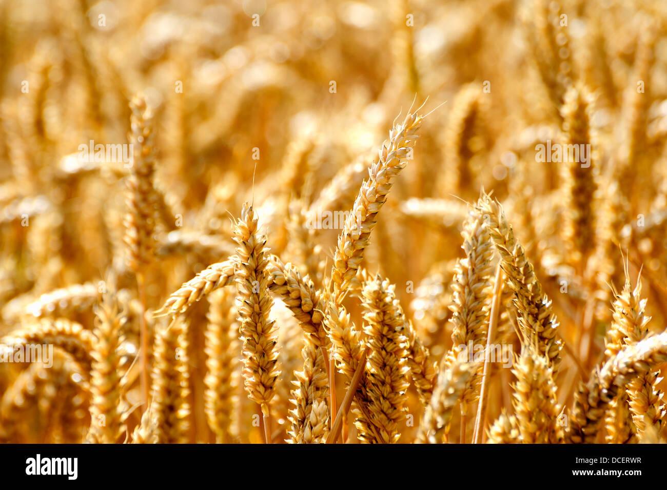 Un campo de trigo que crecen Imagen De Stock