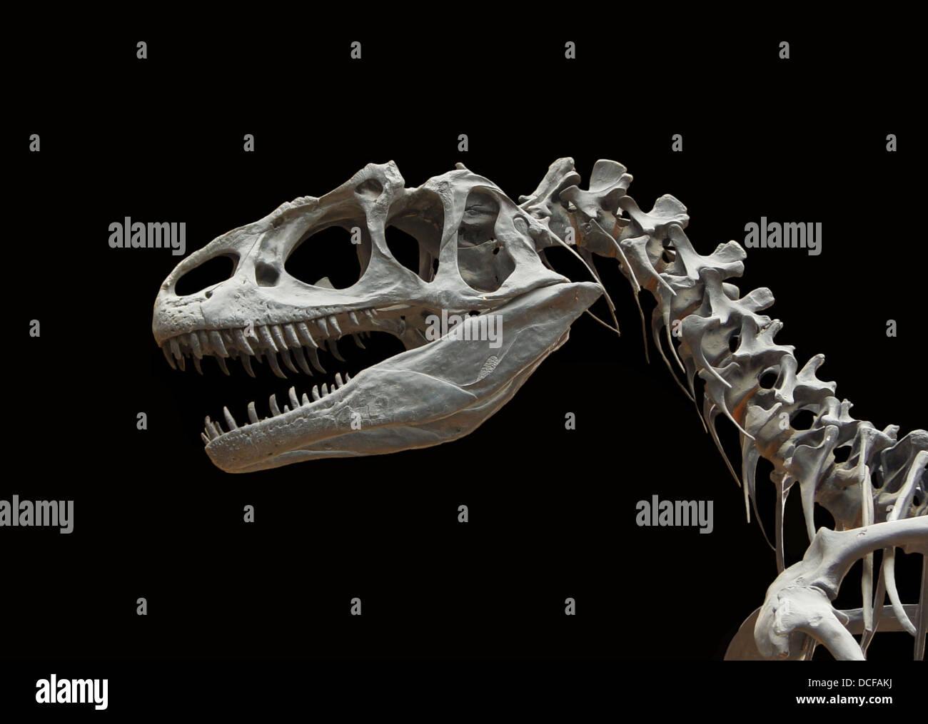 Allosaurus fragilis, jurásico superior (unos 150 millones de años atrás) de cráneo y cervicales, Imagen De Stock