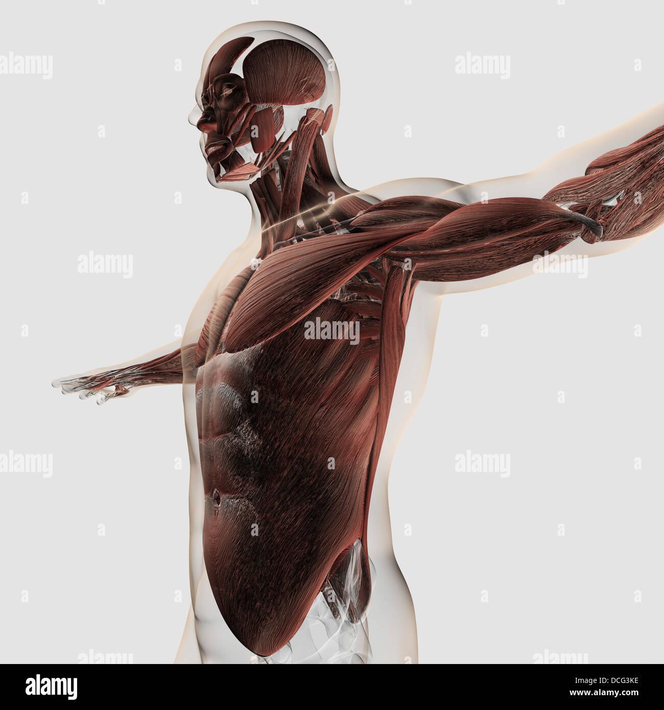 Anatomía de los músculos en la parte superior del cuerpo masculino, vista lateral. Imagen De Stock