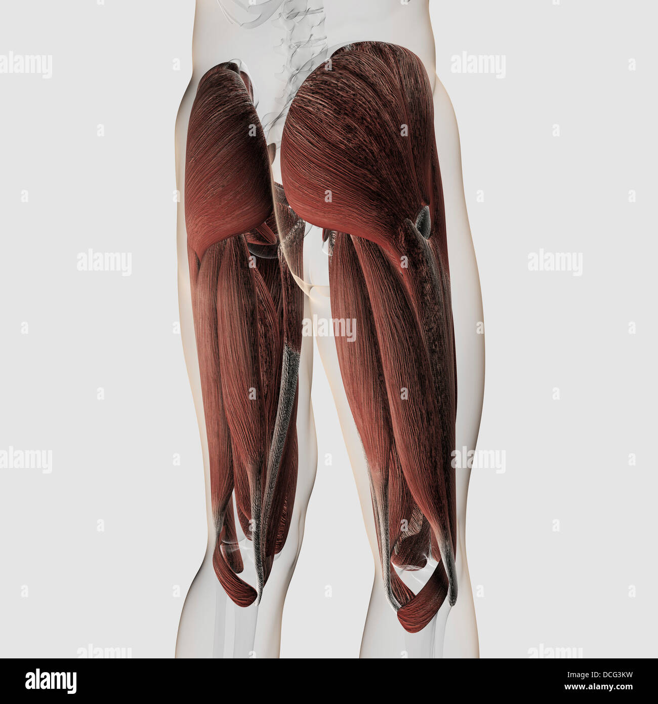 Anatomía muscular masculina de los derechos de las piernas, vista posterior. Imagen De Stock