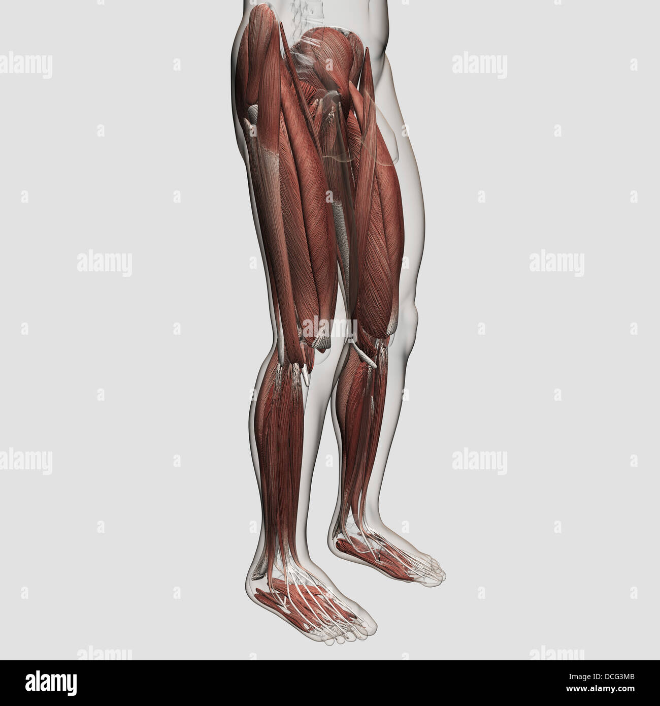 Masculina anatomía muscular de las piernas humanas, vista anterior ...