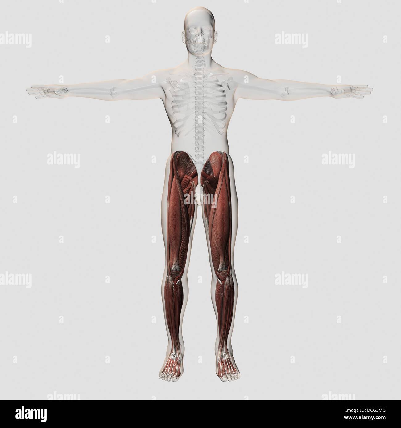 Iliacus Muscle Imágenes De Stock & Iliacus Muscle Fotos De Stock - Alamy