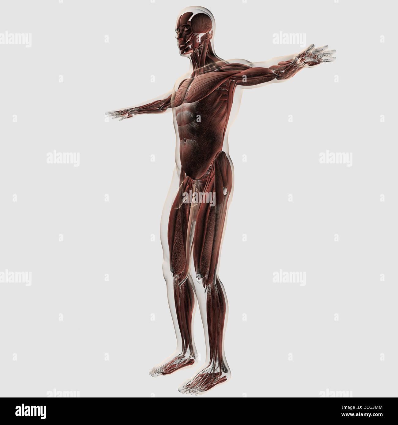 Anatomía del sistema muscular masculina, vista lateral Foto & Imagen ...