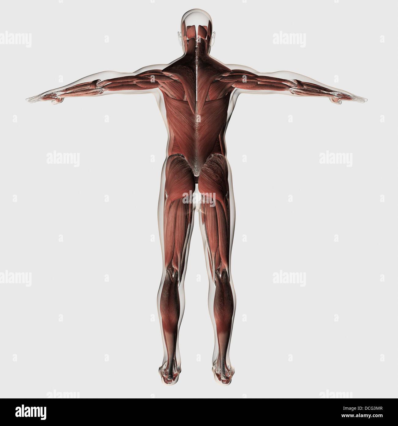 Anatomía del sistema muscular masculina, vista posterior Foto ...