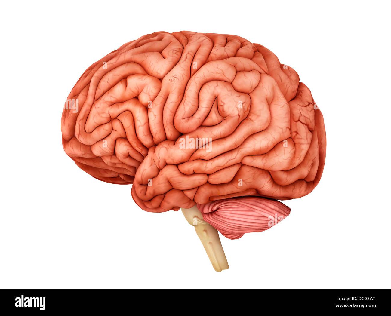 Anatomía del cerebro humano, vista lateral. Foto de stock