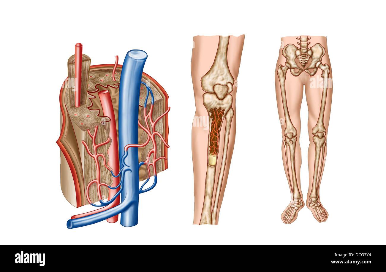 Anatomía de la médula ósea Foto & Imagen De Stock: 59361320 - Alamy