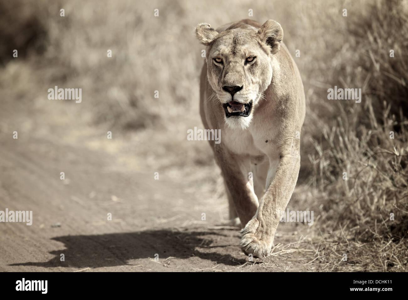 León femenino en marcha. Parque Nacional de Serengueti . Tanzania Imagen De Stock