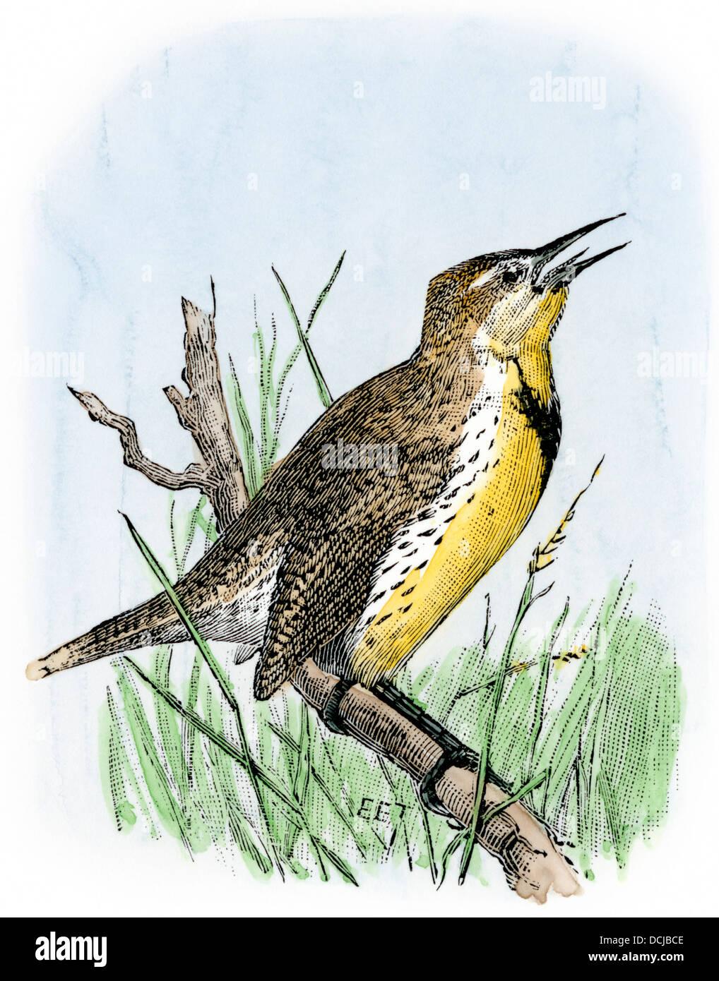 Western meadowlark cantando. Xilografía coloreada a mano Foto de stock