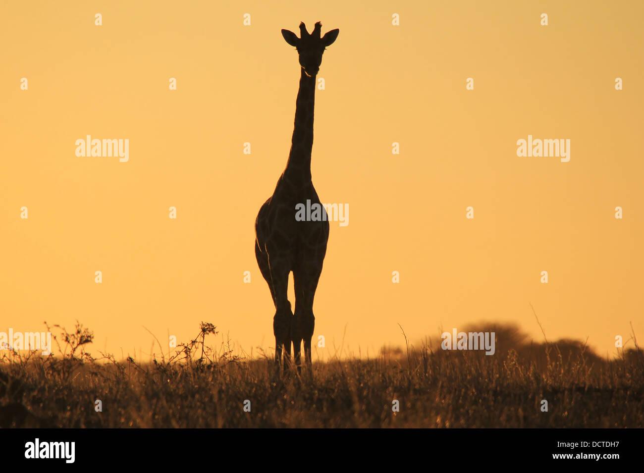 Oro Oro jirafa fijamente desde la selva de África. Silueta de la vida silvestre, el color de fondo y la belleza. Imagen De Stock