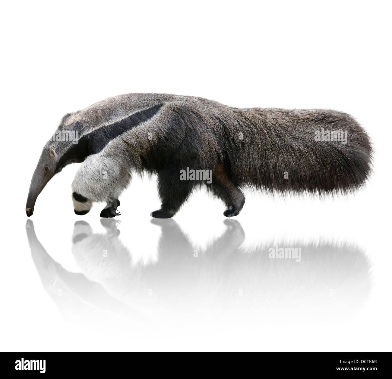 Oso hormiguero gigante Foto de stock