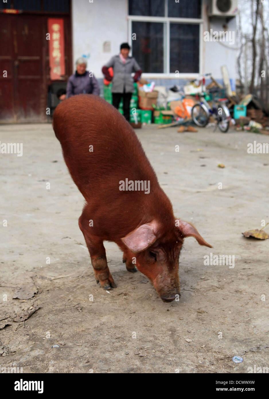 Two-Legged cerdo un cerdo nacido sin su detrás de las piernas se ha enseñado a caminar por su propia cuenta. Los discapacitados bestia nació en julio (11) en la zona oriental de la provincia de Anhui y luchó en las primeras semanas de su vida, de acuerdo a su propietario. Pero el agricultor Xi Ge Foto de stock