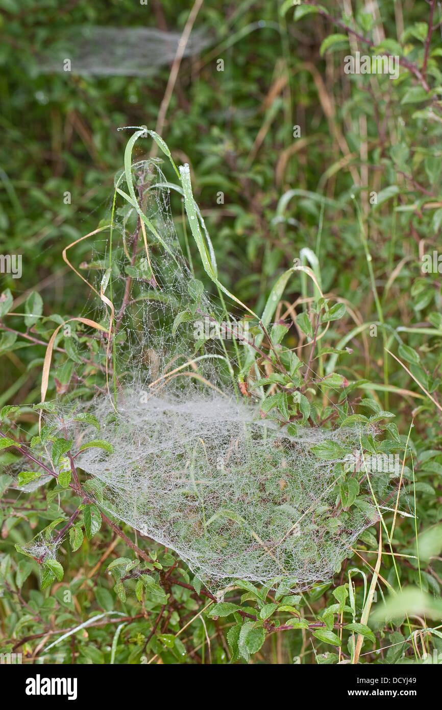 Hoja de la araña de tela de araña, dinero, hoja-web Weaver, línea de tejer, línea de araña Imagen De Stock