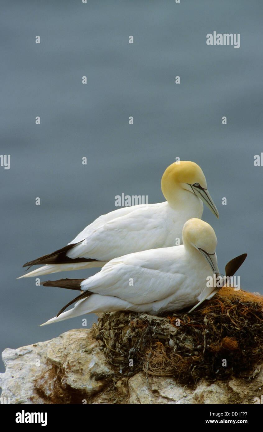 Norte de Gannett, par de nido, Basstölpel, Baßtölpel, Pärchen auf nido, Tölpel, Sula bassana, Morus bassanus, Vogelfelsen Foto de stock