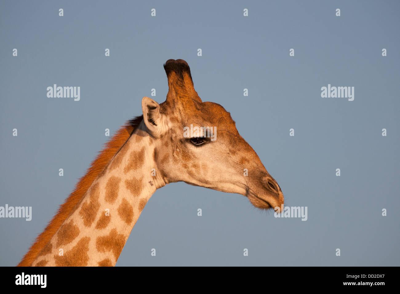 Close-up de la jirafa Imagen De Stock