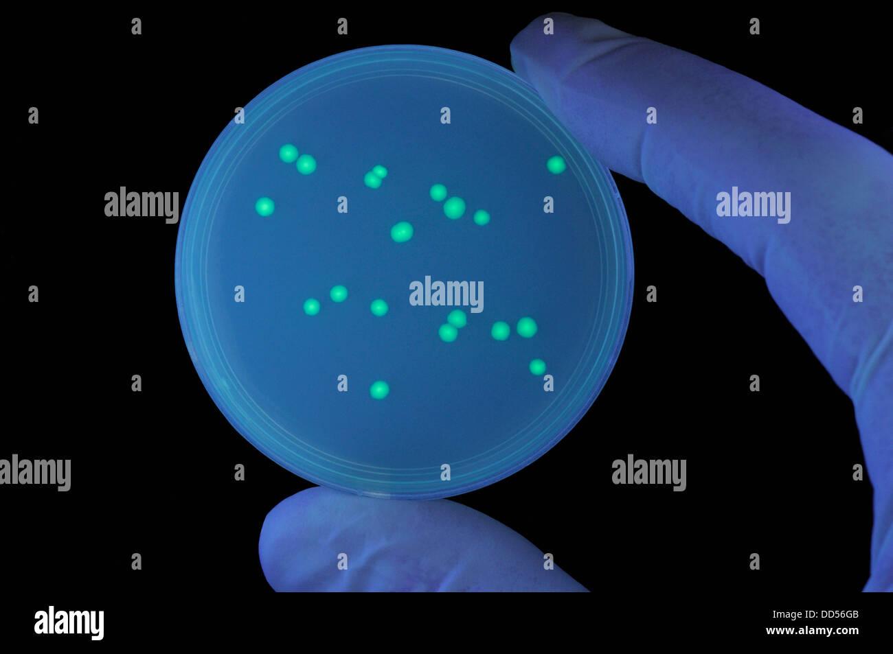 Colonias de Bacterias transformadas que contienen unas medusas gen para la proteína verde fluorescente (GFP) Imagen De Stock