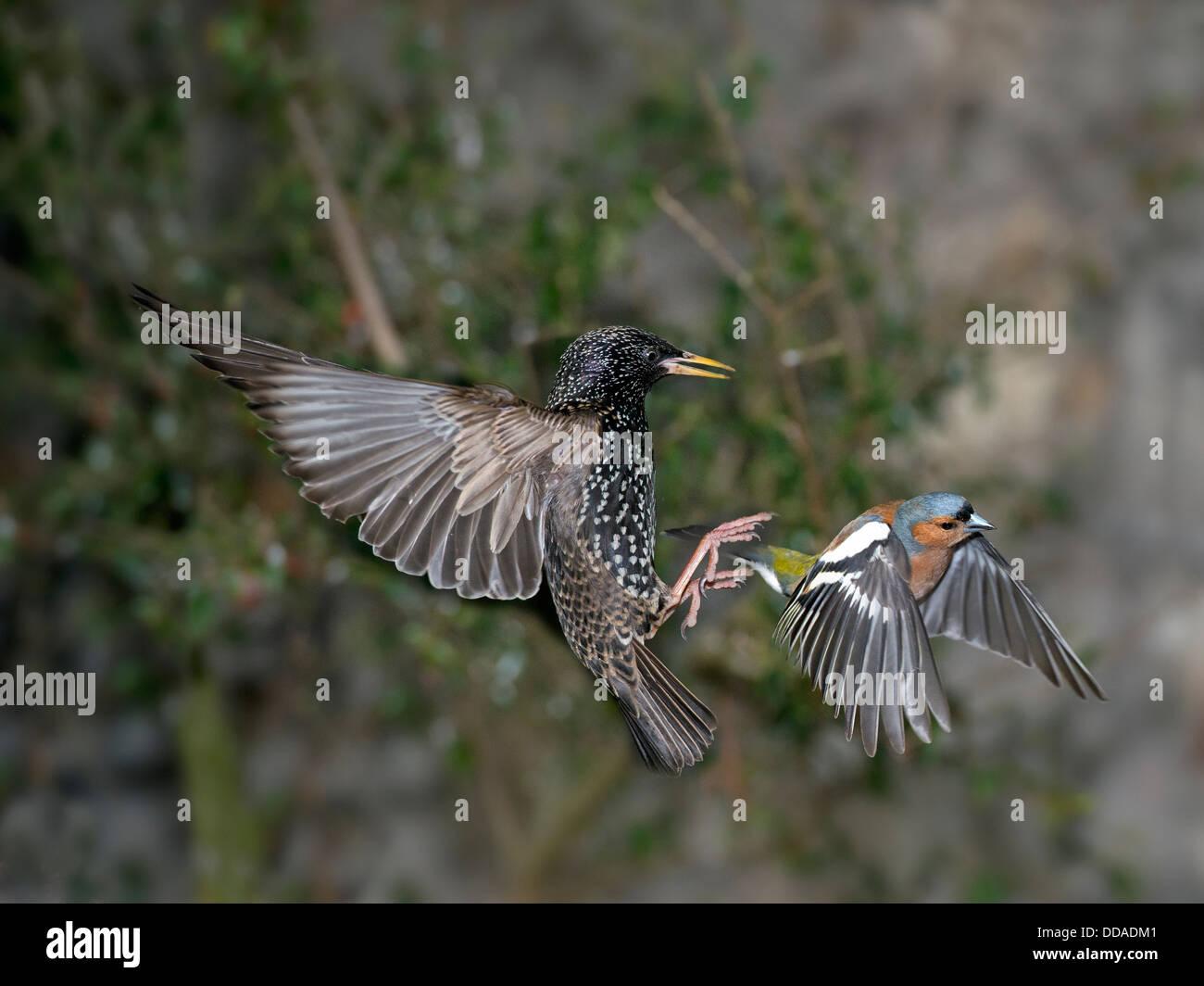 Un starling persiguiendo un rozamiento de un alimentador Foto de stock