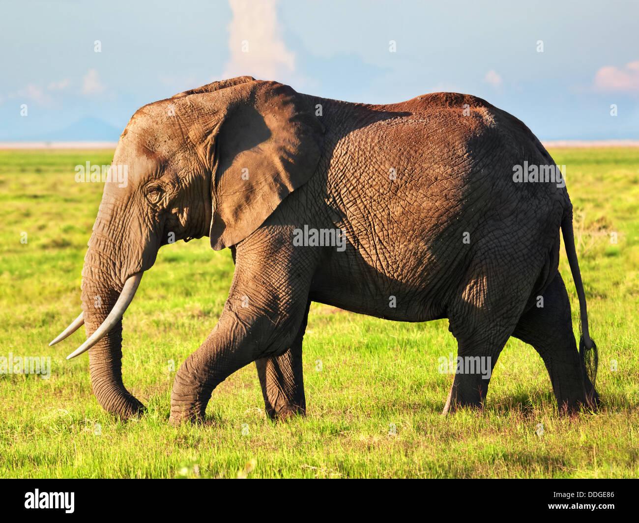 Elefante africano (Loxodonta africana), retrato en el Parque Nacional de Amboseli, el Valle del Rift, Kenya, Africa. Imagen De Stock