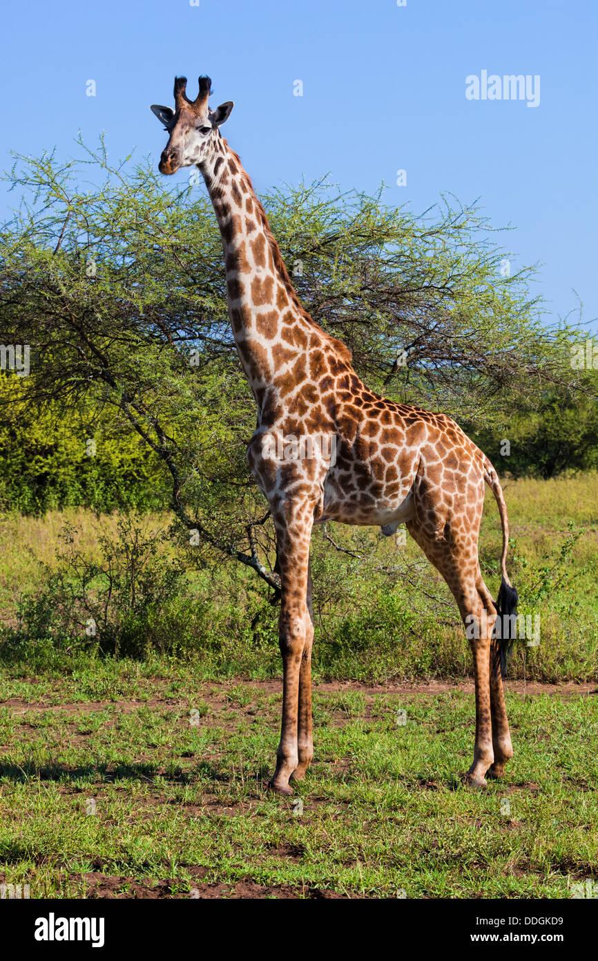 Jirafa en el Parque Nacional del Serengeti, Tanzania, África Imagen De Stock