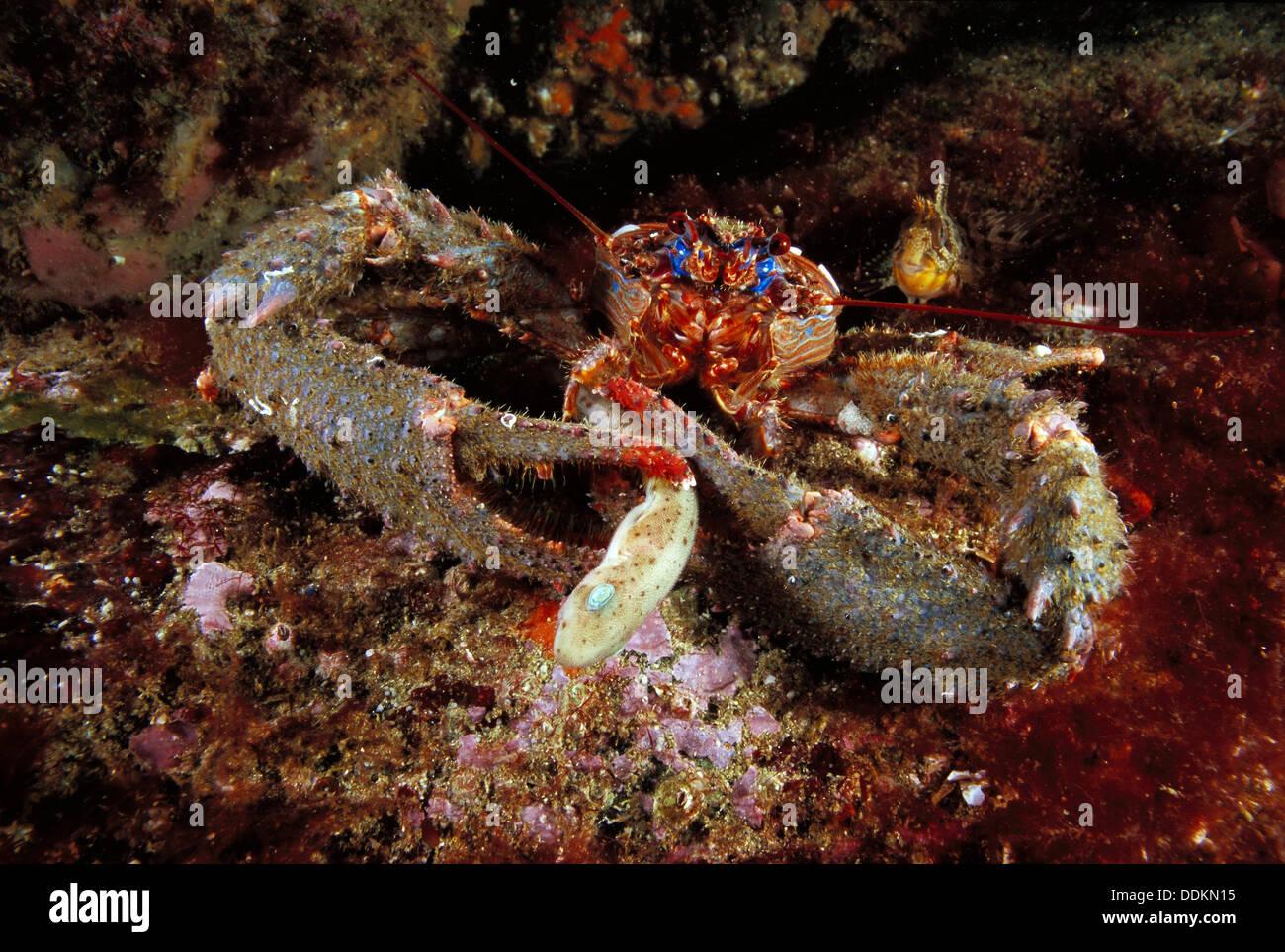 Spinous Imágenes De Stock & Spinous Fotos De Stock - Alamy