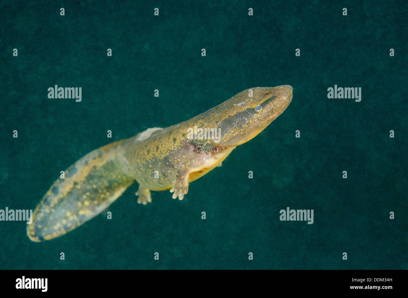 Necturus Maculosus Imágenes De Stock & Necturus Maculosus Fotos De ...