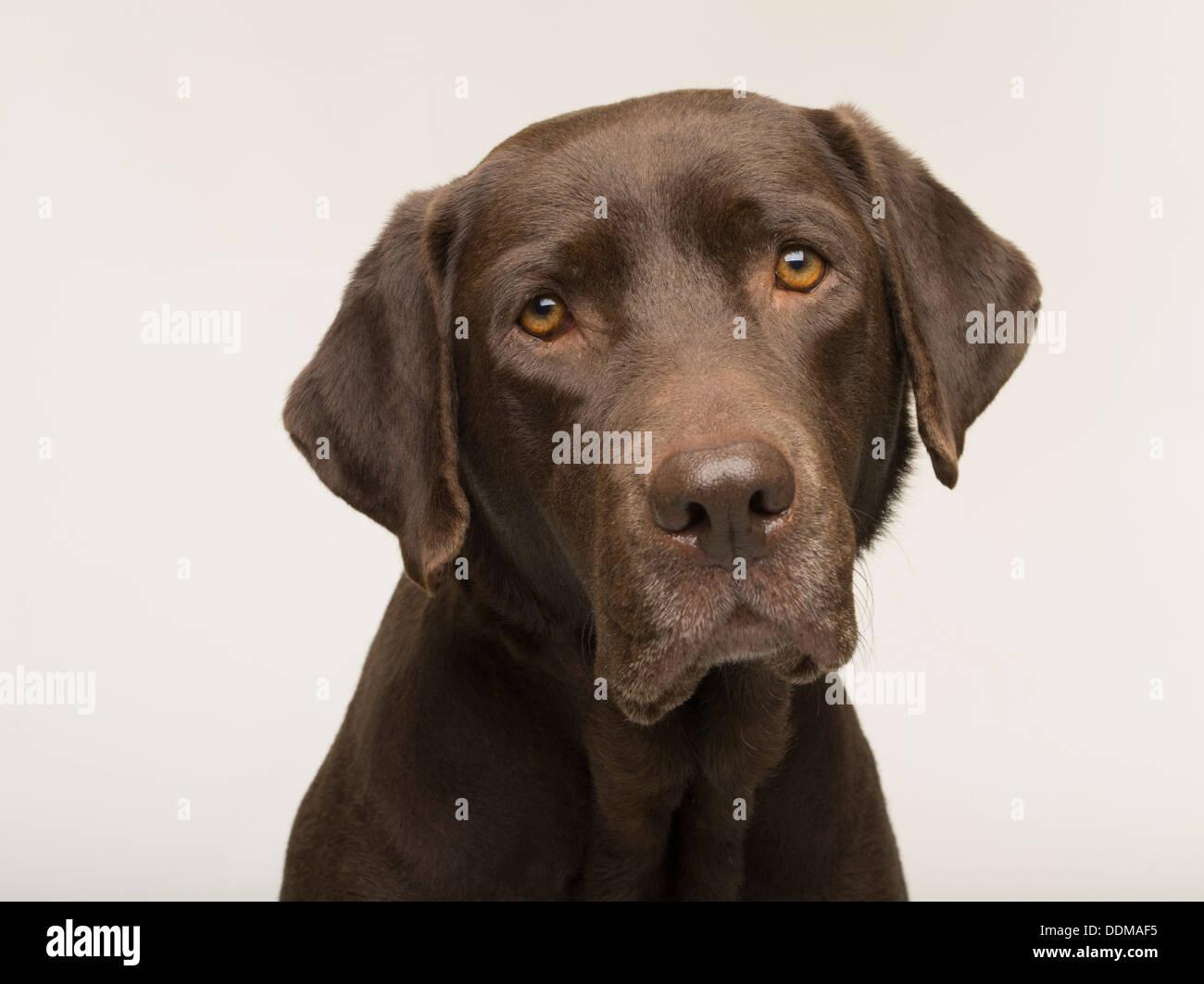 Labrador Retriever chocolate perro adulto hembra retrato sobre fondo blanco studio Foto de stock