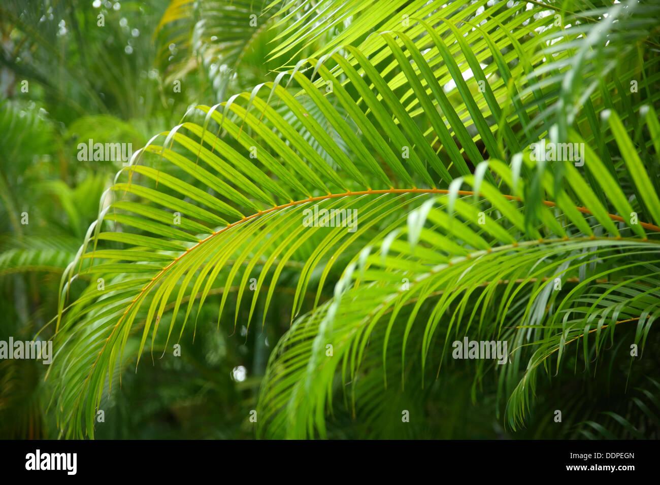 Ramas de palma tropical, Costa Rica Foto de stock