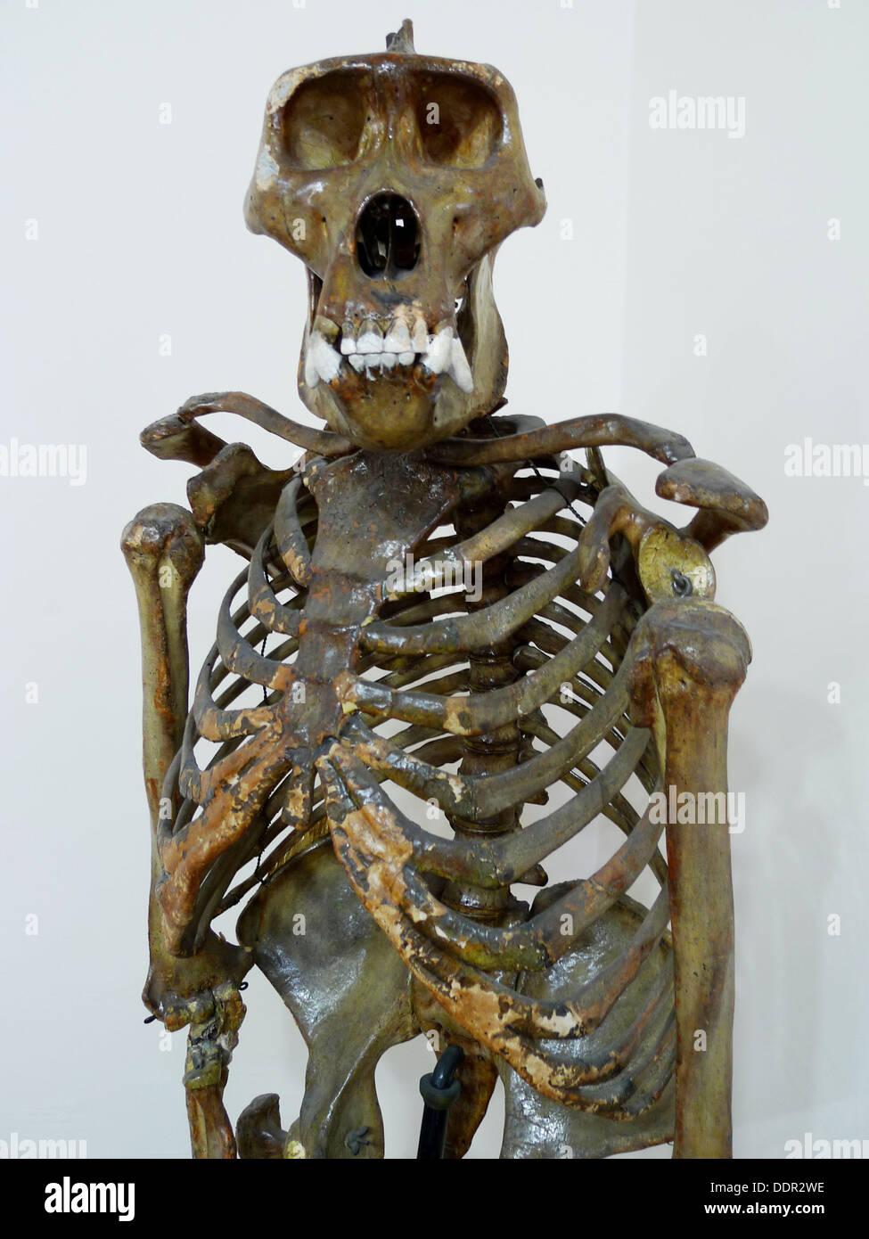 Skeleton Skeleton Gorilla Imágenes De Stock & Skeleton Skeleton ...