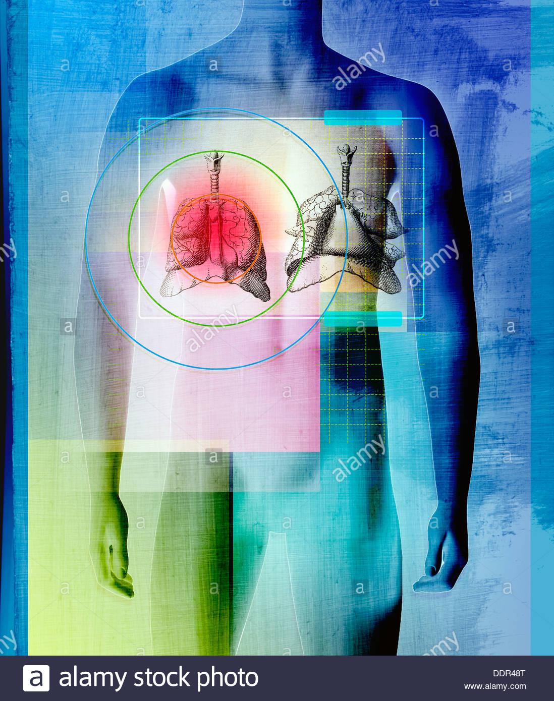 Cuerpo Humano con hígado y pulmones Foto & Imagen De Stock: 60129912 ...