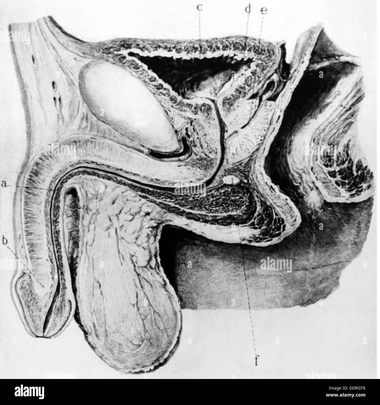 La medicina, la anatomía, los órganos sexuales, Diagrama esquemático ...
