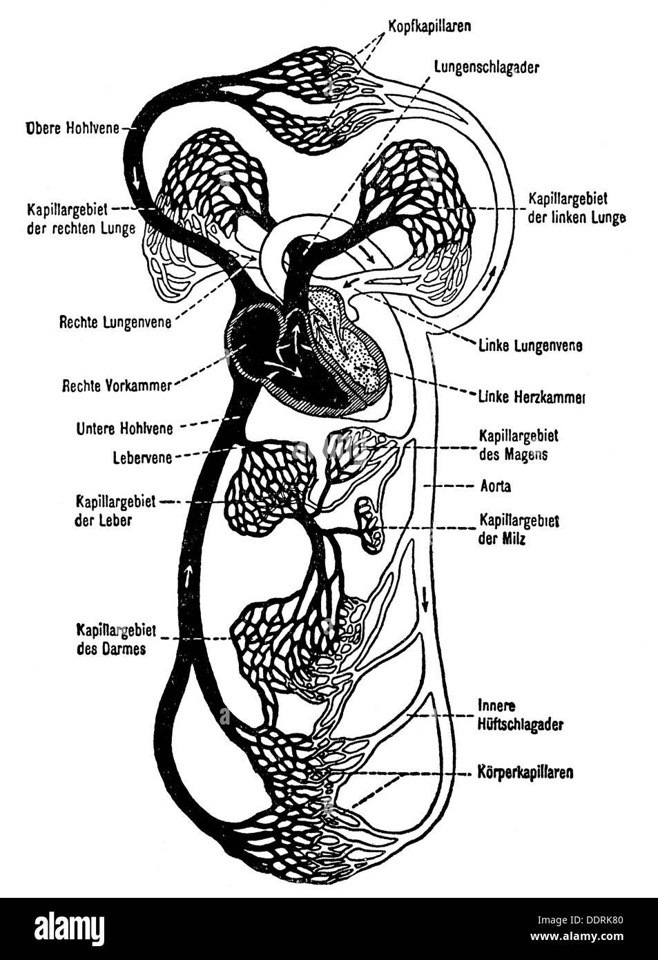 Anatomía de la medicina de la circulación sanguínea de dibujo de ...
