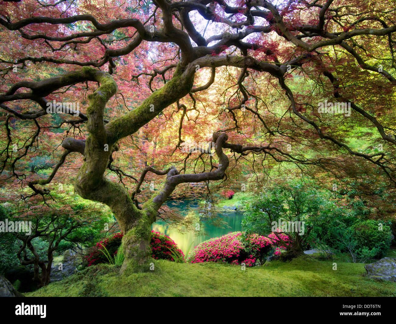 Arce japonés con un nuevo crecimiento. En el jardín japonés de Portland, Oregón Imagen De Stock
