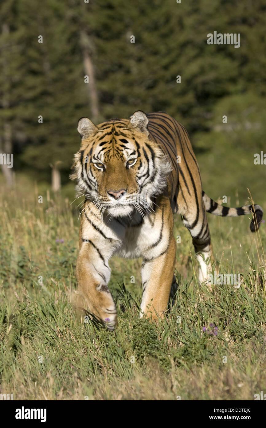 Tigre siberiano en la búsqueda Imagen De Stock
