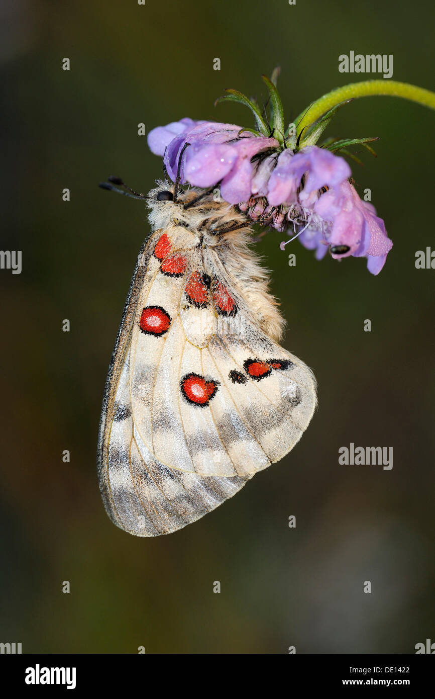 Montaña Mariposa Apolo (Parnassius apollo), descansando sobre una mala hierba (centaurea jacea marrón), Biosphaerengebiet Schwaebische Alb Foto de stock