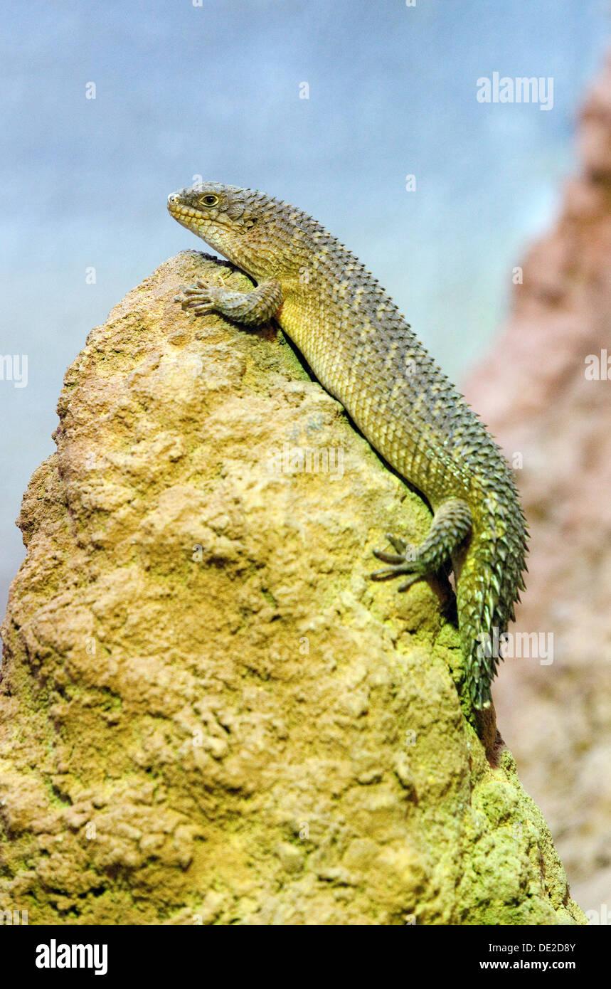 Un Skink, Egernia Gidgee Stokesii, un lagarto o reptiles australianos Imagen De Stock