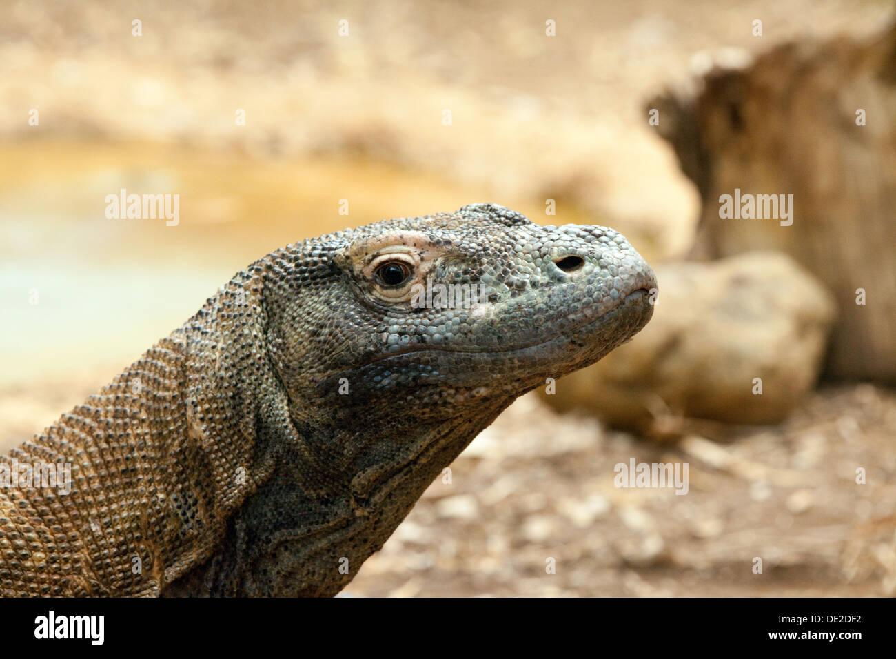 El dragón de Komodo (Varanus komodoensis, conocido también como monitor de Komodo, un reptil grande; cerca de la cabeza, Imagen De Stock