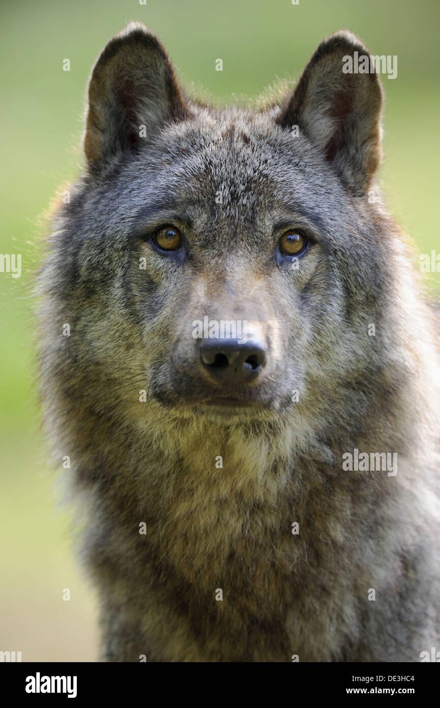 Retrato de unión el lobo (Canis lupus) cautivo, Francia Foto de stock