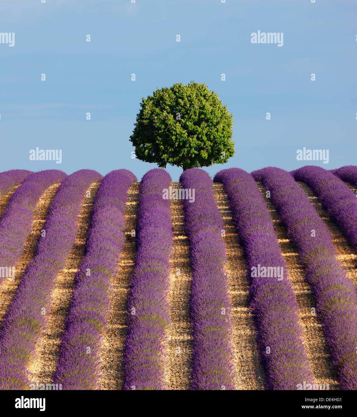 Árbol en la cima de la colina en el campo de lavanda. Imagen De Stock