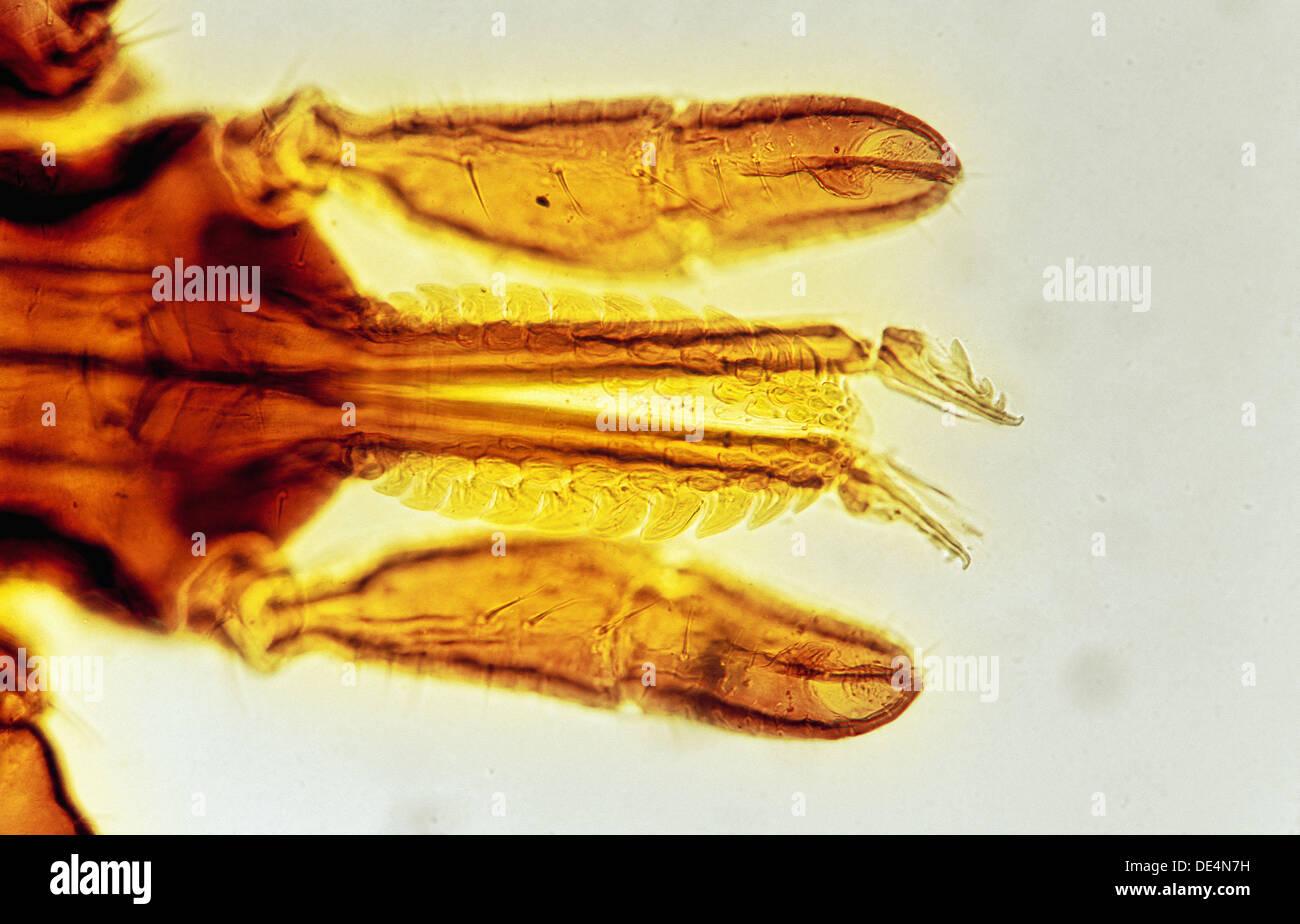 Palpi de Ixodes ricinus, Acari: Ixodidae, marque el vector de la enfermedad de Lyme borreliosis, causada por la Foto de stock