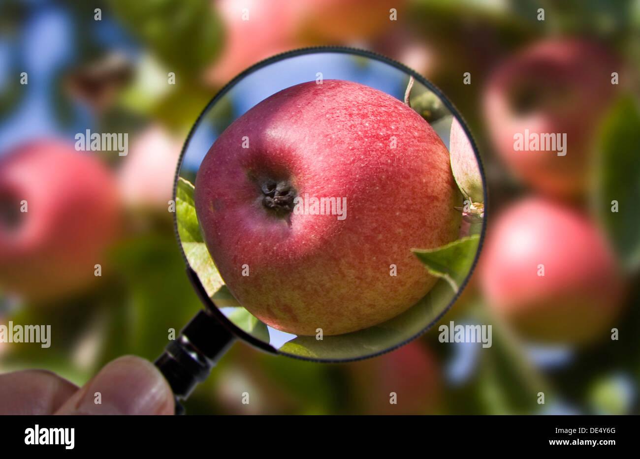 Apple es examinado bajo una lupa Foto de stock