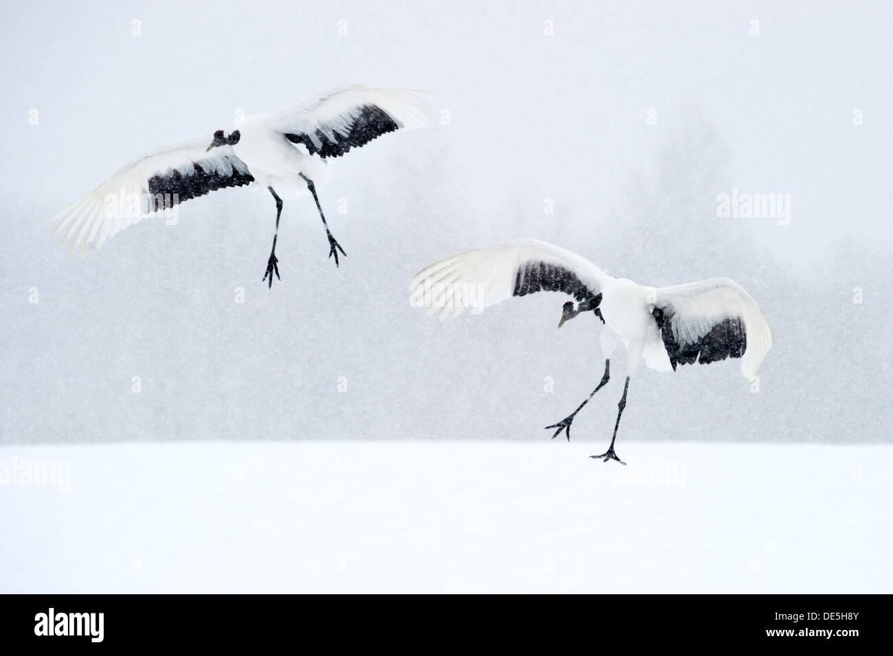 Grullas japonesas aterrizaje en la nieve para el cortejo Foto de stock