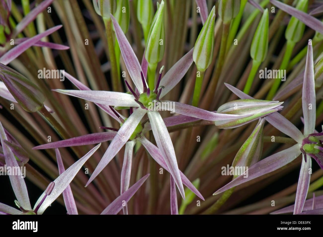Estrella de Persia, Allium cristophii, cogollitos Imagen De Stock